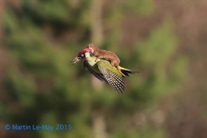 Weasel Pecker_ _-1380946441060858915