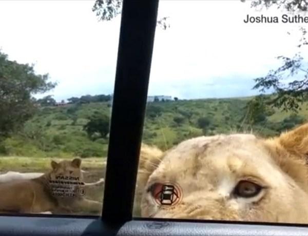 Lion Opens Door_6083624229525668766