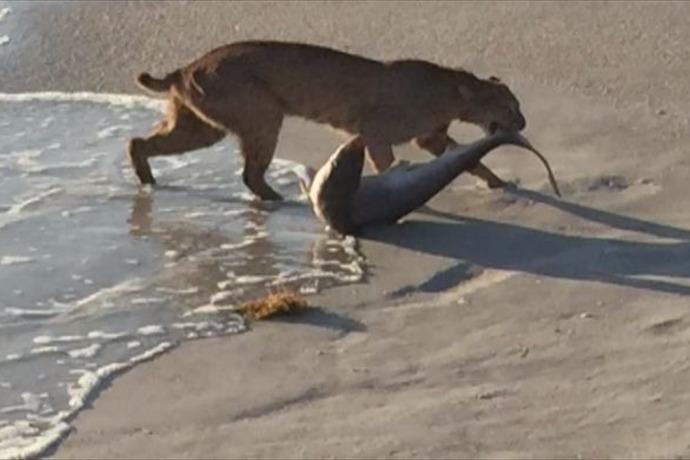 Bobcat Eats Shark_7873641476868161833