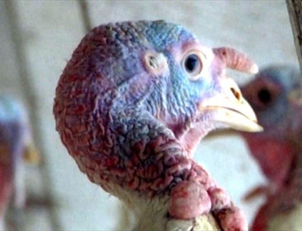 Bird Flu_5261650323276384738