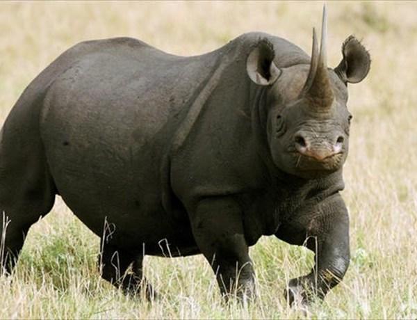 Black Rhino_53678282314564201
