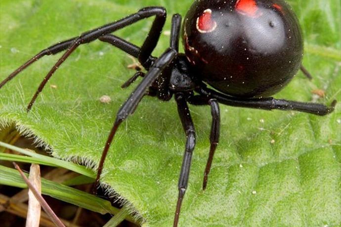 Black Widow _-8781931616507770113