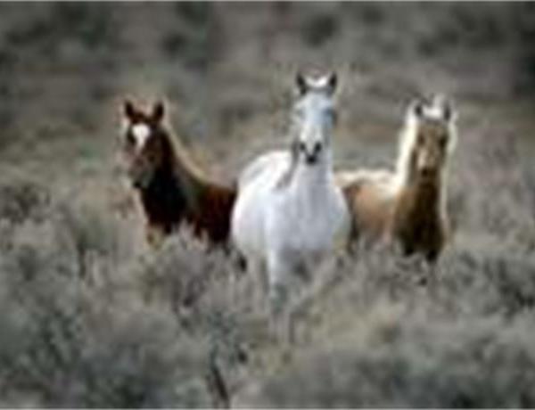 Wild Horse Adoptions_-6634292856276758989