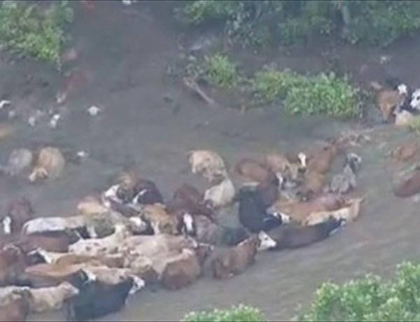Cattle Rescue_9111373813722464944