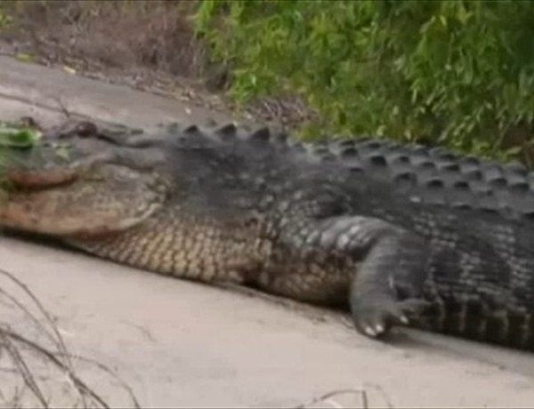 Alligator in South Texas_-2143454104331991261