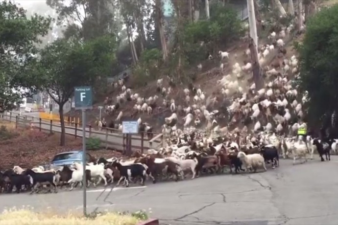 Goats_1706013440610750028