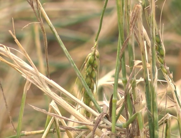 Wheat crop damage_3736280869857282883