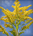 Relieve Ragweed Allergies Without Shots _20160113103553-159532
