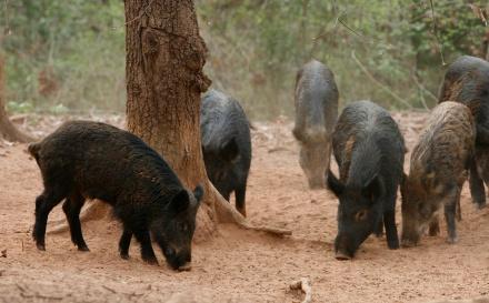 wild hogs_1520548739862.jpg.jpg
