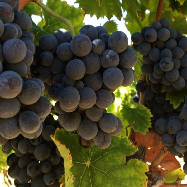 grapes 456_1535675434070.jpg.jpg