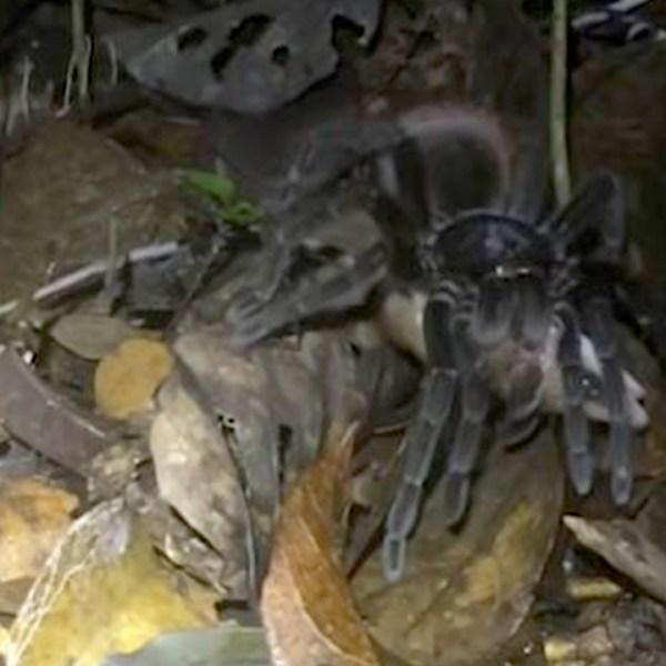tarantula possum_1551462592882.jpg-60106292.jpg